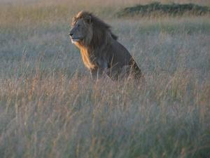 Sunlight On A Male Lion, Panthera Leo, Sitting In The Dry Grass by Andrew Coleman