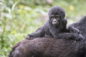 Young Mountain Gorilla, Gorilla Beringei Beringei, On Mother's Back by Andrew Coleman
