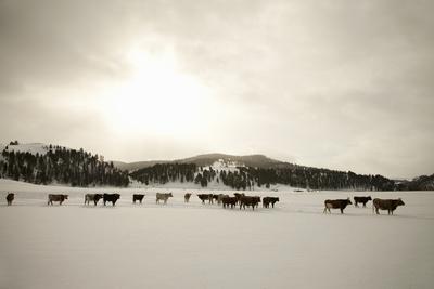 Herd of Cattle in Snowy Field.