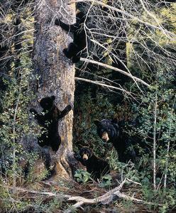 Black Bear Family by Andrew Kiss