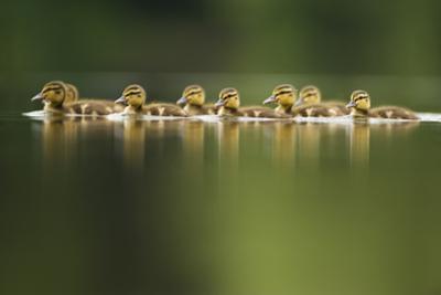 A Line of Mallard (Anas Platyrhynchos) Ducklings Swimming on a Still Lake, Derbyshire, England, UK by Andrew Parkinson
