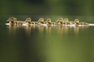 A Line of Mallard (Anas Platyrhynchos) Ducklings Swimming on a Still Lake, Derbyshire, England, UK by Andrew Parkinson