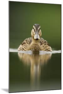 A Sub-Adult Female Mallard (Anas Platyrhynchos) Swimming on a Still Lake, Derbyshire, England by Andrew Parkinson