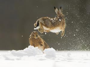 Brown Hare (Lepus Europaeus) Adult Female (Mid-Air) Leaping Out of Her Form in Snow by Andrew Parkinson