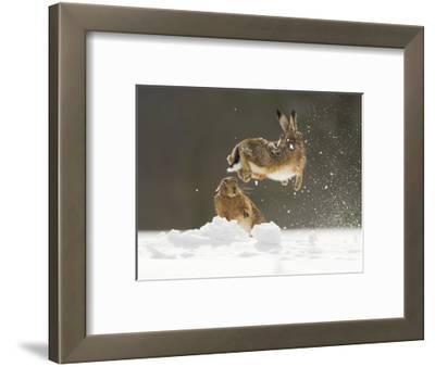 Brown Hare (Lepus Europaeus) Adult Female (Mid-Air) Leaping Out of Her Form in Snow