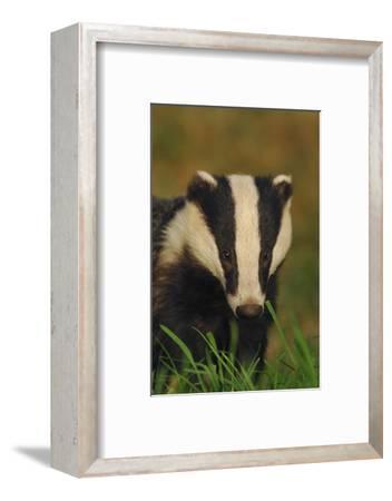 Portrait of an Adult Badger (Meles Meles), Derbyshire, UK