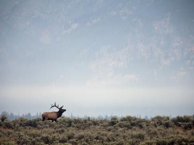 Large Bull Elk Bugling During the Rut in Grand Teton National Park