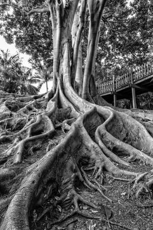 Massive Rubber Tree Roots at Balboa Park in San Diego, Ca by Andrew Shoemaker