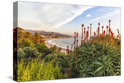 Overlooking Blooming Aloe in Laguna Beach, Ca