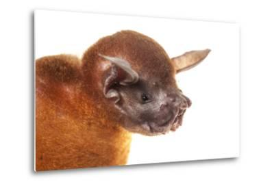 Greater Bulldog Bat (Noctilio Leporinus) Portrait, Surama, Guyana. Meetyourneighbours.Net Project