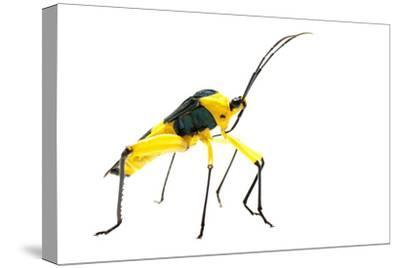 Leaf-Footed Bug (Coreidae) Iwokrama, Guyana. Meetyourneighbours.Net Project