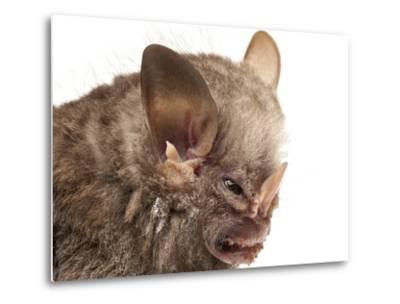 Little White-Shouldered Bat (Ametrida Centurio) Head Portrait, Surama, Guyana