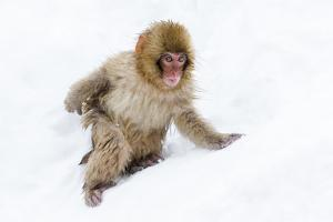 Japanese Macaque (Snow Monkey) (Macata Fuscata), Japan by Andrew Sproule