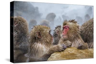 Japanese Macaques (Snow Monkeys) (Macata Fuscata), Japan