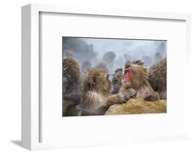 Japanese Macaques (Snow Monkeys) (Macata Fuscata), Japan