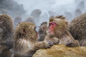Japanese Macaques (Snow Monkeys) (Macata Fuscata), Japan by Andrew Sproule