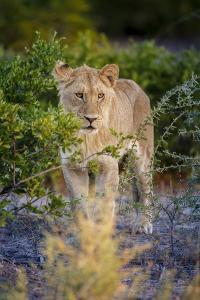 Male Lion (Panthera Leo) Juvenile, Moremi, Okavango Delta, Botswana, Africa by Andrew Sproule