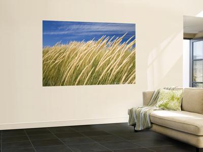 Beachgrass on Dunes of Binnalong Bay, Near St Helens