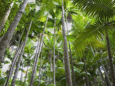 Queensland, Fraser Island, Tropical Palms in the Rainforest Area of Wanggoolba Creek, Australia