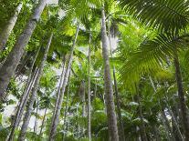 Queensland, Fraser Island, Tropical Palms in the Rainforest Area of Wanggoolba Creek, Australia-Andrew Watson-Photographic Print