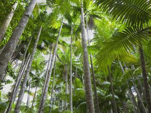 Queensland, Fraser Island, Tropical Palms in the Rainforest Area of Wanggoolba Creek, Australia by Andrew Watson
