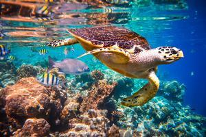 Hawksbill Turtle - Eretmochelys Imbricata Floats under Water. Maldives Indian Ocean Coral Reef. by Andrey Armyagov