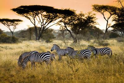 Herd of Zebras on the African Savannah
