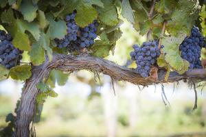 Vineyard with Lush, Ripe Wine Grapes on the Vine Ready for Harvest. by Andy Dean Photography
