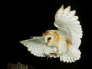 Barn Owl by Andy Harmer