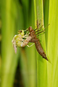 Emperor Dragonfly Metamorphosis by Andy Harmer