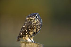 Little Owl by Andy Harmer
