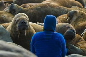 A Man Surrounded by Walruses Off Hooker Island by Andy Mann
