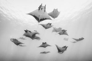 A school of devil rays swim on the water's surface. by Andy Mann