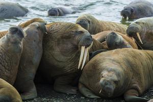Walruses Off Hooker Island by Andy Mann