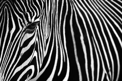 Zebra in Lisbon Zoo by Andy Mumford