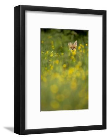 Red Fox (Vulpes Vulpes) in Meadow of Buttercups. Derbyshire, UK