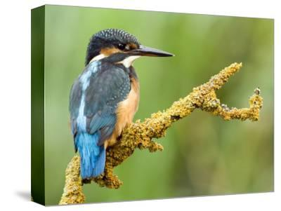 Common Kingfisher Perched on Lichen Covered Twig, Hertfordshire, England, UK