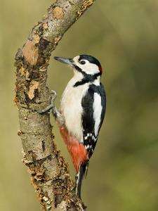 Great Spotted Woodpecker Male on Branch, Hertfordshire, UK, England, February by Andy Sands