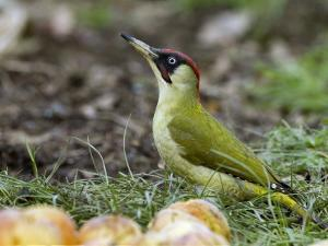 Green Woodpecker Male Alert Posture Among Apples on Ground, Hertfordshire, UK, January by Andy Sands
