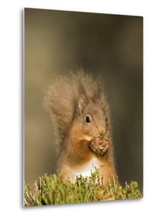 Red Squirrel Feeding, Cairngorms, Scotland, UK