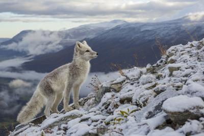 Arctic Fox (Alopex - Vulpes Lagopus) Standing On Ridge by Andy Trowbridge