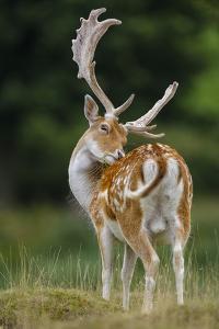 Fallow Deer (Dama Dama) Buck Grooming, Antlers In Velvet. North Island, New Zealand by Andy Trowbridge