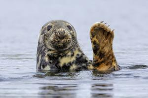 Grey Seal (Halichoerus Grypus) At Rest On Submerged Rock, Head And One Flipper Above Water by Andy Trowbridge