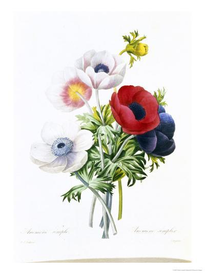 Anemone Simplex-Pierre-Joseph Redout?-Giclee Print