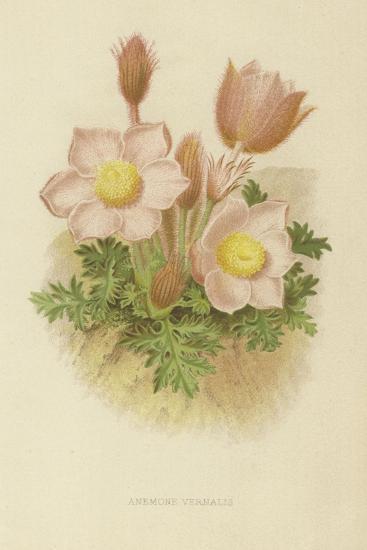 Anemone Vernalis--Giclee Print