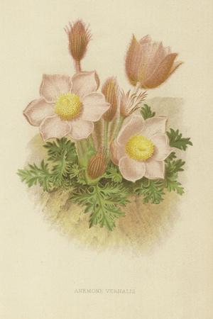 https://imgc.artprintimages.com/img/print/anemone-vernalis_u-l-ppbapo0.jpg?p=0