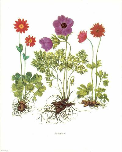 Anemone--Art Print