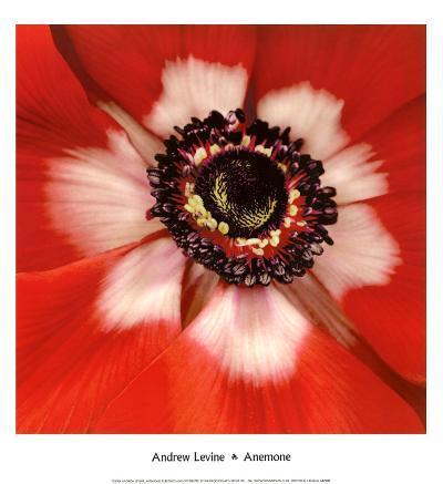 Anemone-Andrew Levine-Art Print