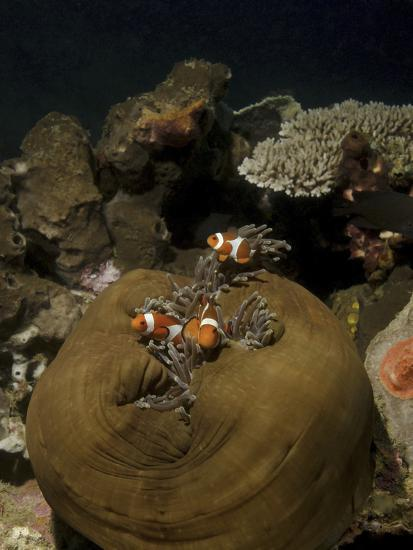 Anemonefish in their Host Anemone, Lembeh Strait, Indonesia-Stocktrek Images-Photographic Print