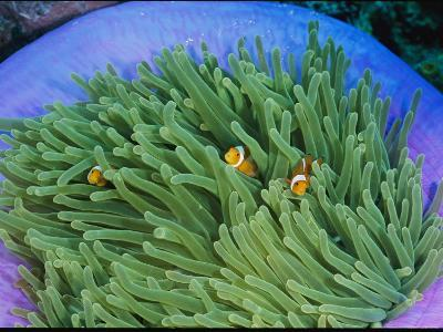 Anemonefish Take Shelter in a Magnificent Sea Anemone-Wolcott Henry-Photographic Print